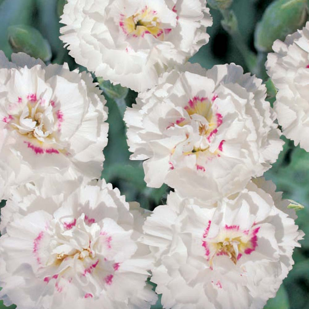 Dianthus 'Alan Titchmarsh' - parte a colectiei Alan Titchmarsh de la Thompson & Morgan