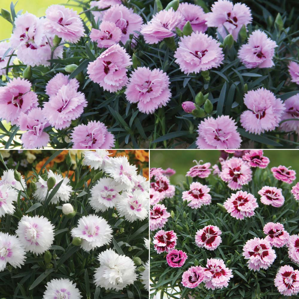 Dianthus 'Endless Love Mixed' - de la Thompson & Morgan