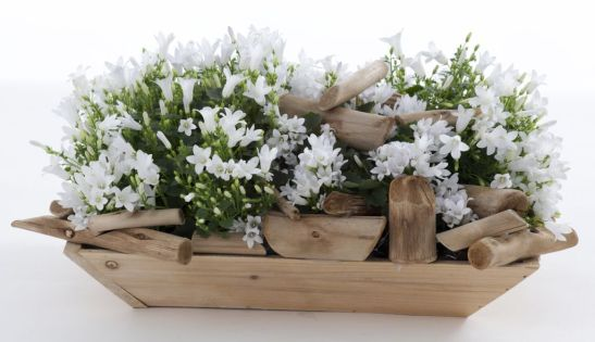 Campanula portenschlagiana White Royal, un soi deszvoltat de Serele Gartneriet Tvillingegaarden din Danemarca.