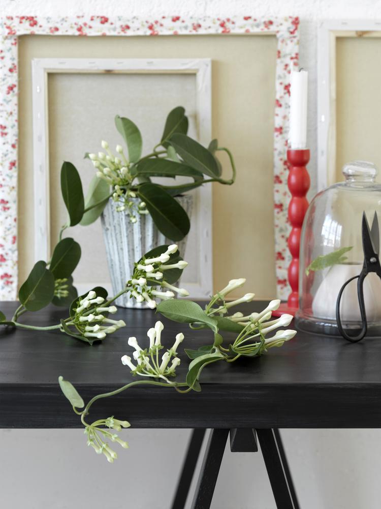 Stephanotis floribunda, numele popular Iasomia de Madagascar, are radacini lungi, asa că alege un ghivechi inalt.