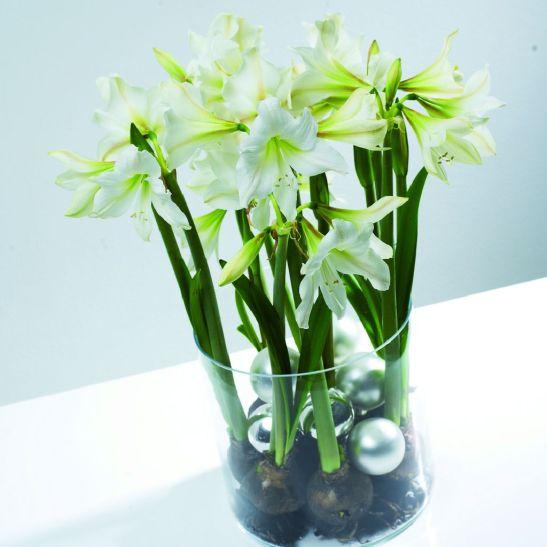 Amaryllis. Foto Floradania
