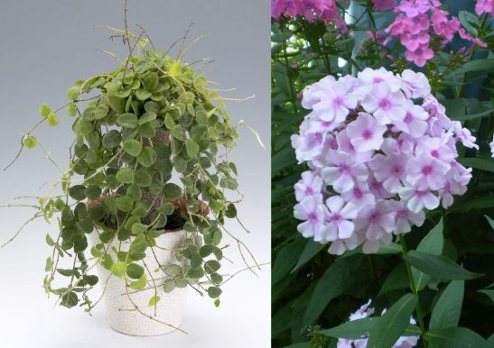 Flori de gradina recomandate de Carmen Ionita in buchete: wax flower (Hoya serpens) si flox