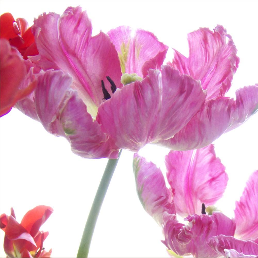 Laleaua Papagal propunere de floare mai putin cunoscuta la noi facuta de designerul Dhaniel Nora