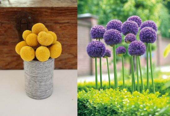 Propunerile lui Dhaniel Nora de flori mai putin cunoscute la noi, dar care merita incluse in buchete si aranjamente: Craspedia (stanga) si Allium