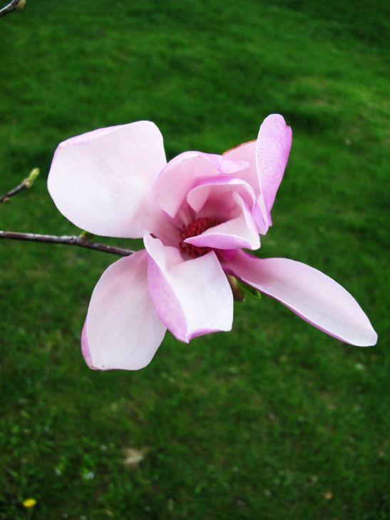 Magnolie roz