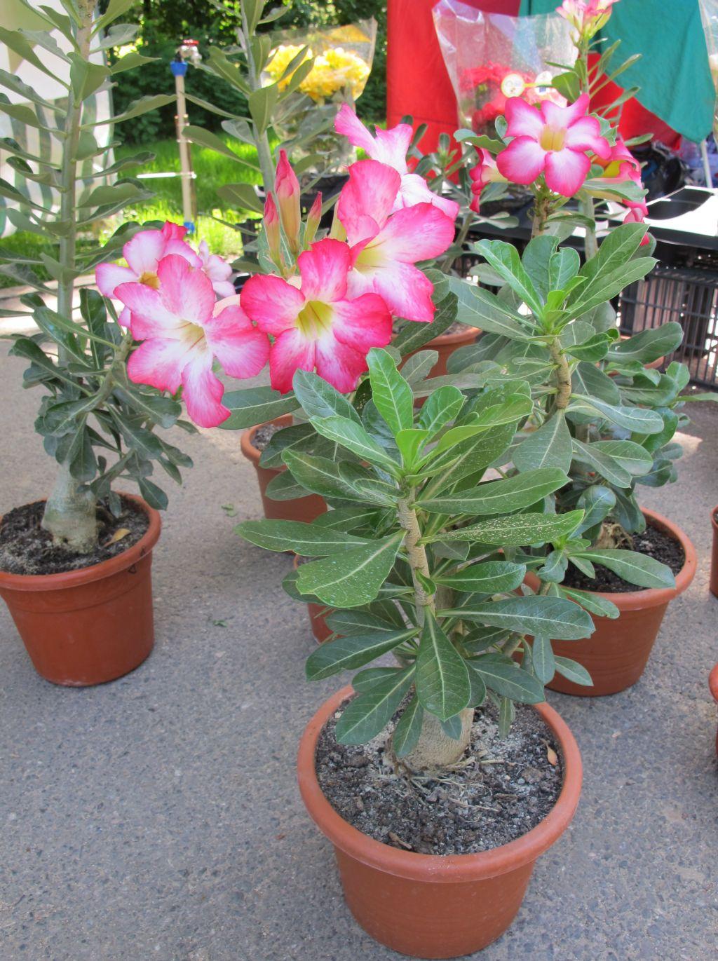 Adenium Obesum sau trandafirul desertului pret 80 lei planta cu varsta de 3 ani de la Floraden.ro