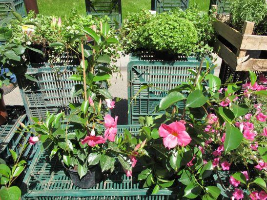 Flori, legume si plante aromatice cultivate in serele Gradina din Sud la preturi bune