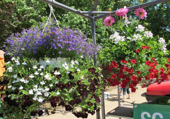 Ghivece suspendate cu mai multe tipuri de flori diametru circa 60-80 cm pret 100 lei de la Fabrica de flori Natura din Ploiesti