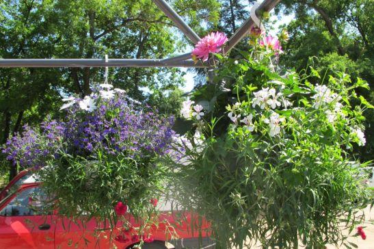 Ghivece suspendate cu mai multe tipuri de flori diametru circa 60 cm pret 100 lei bucata de la Fabrica de flori Natura din Ploiesti