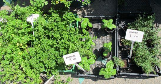 Plante aromatice romanesti la preturi bune 2 lei rasadul de la Fabrica de flori Natura din Ploiesti