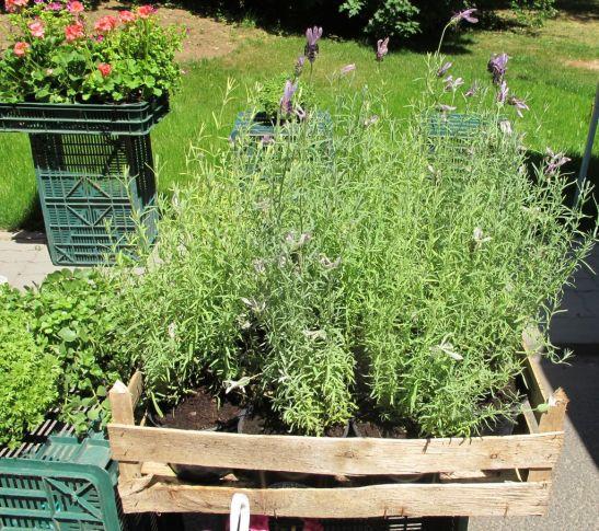 Plante aromatice si lavanda de la Gradina din Sud la preturi bune