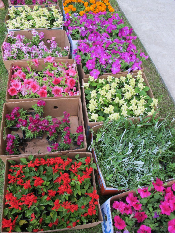 Rasaduri flori la 5 lei bucata