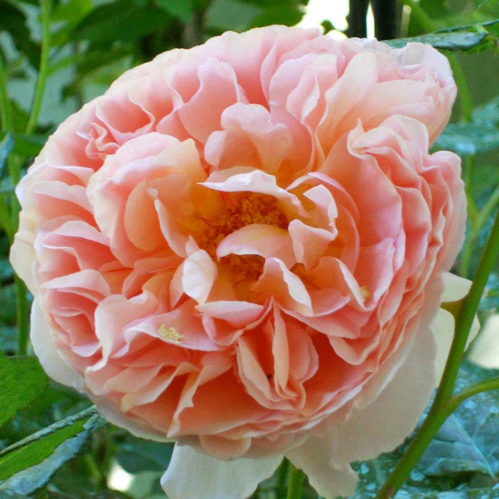 In gradina Roxanei trandafirul Abraham D'Arby