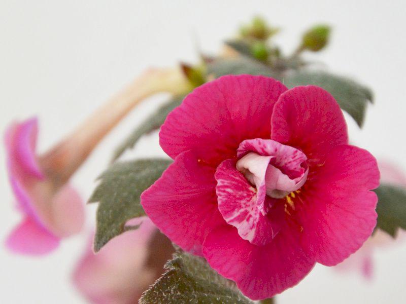 Achimenes Serge's Fantasy de la Flori si Plante