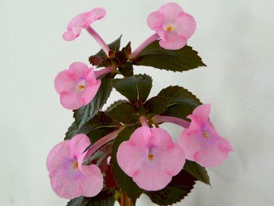 Achimenes Simbirochka de la Flori si Plante