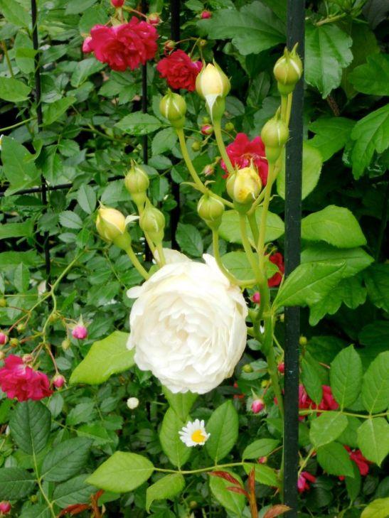 In gradina Roxanei trandafirii Claire Austin si  Super Excelsa Rambler Rose
