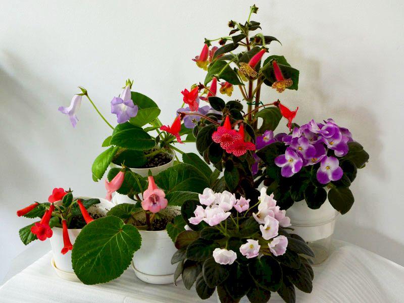 Gesneriaceae de la Flori si Plante