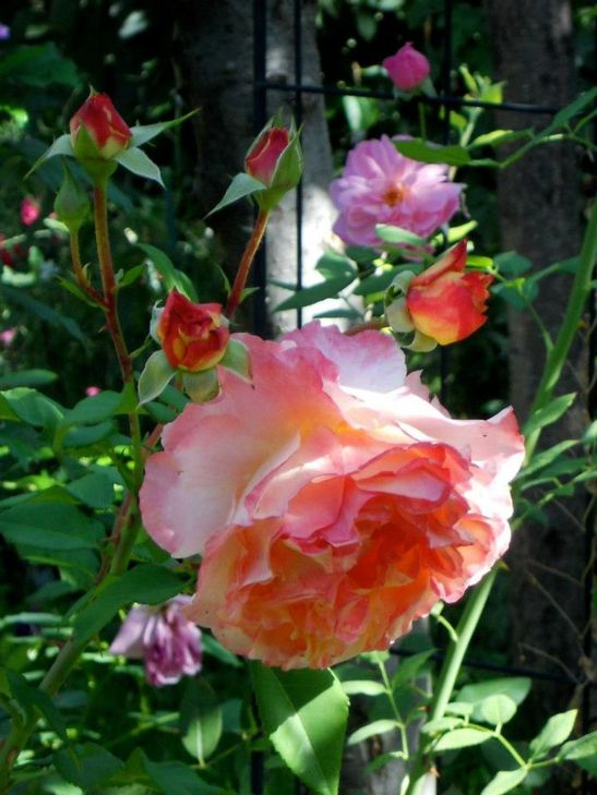 In gradina Roxanei trandafirii Augusta Louise Rose (Tantau), Mortimer Sackler English Rose