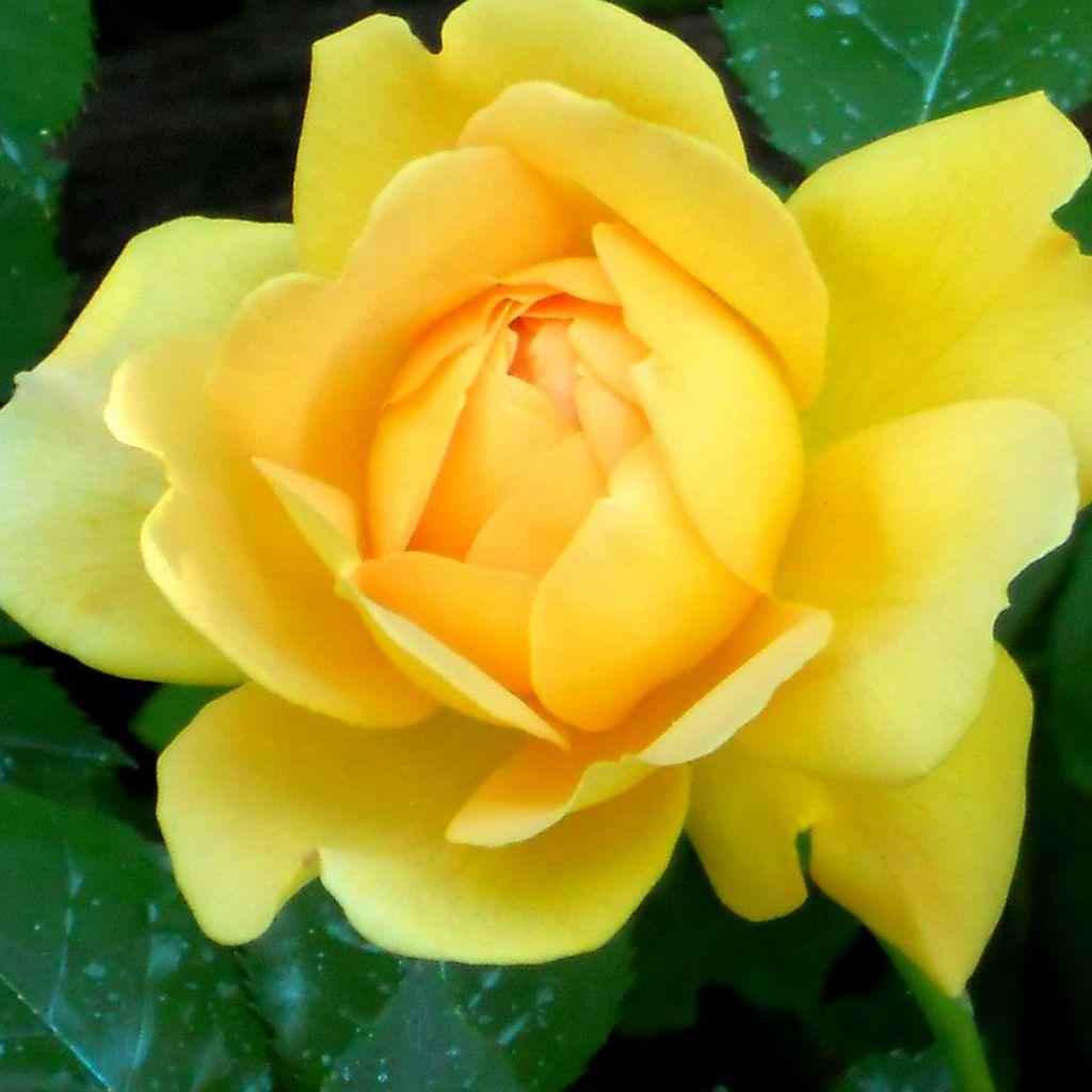 In gradina Roxanei trandafirul Golden Celebration