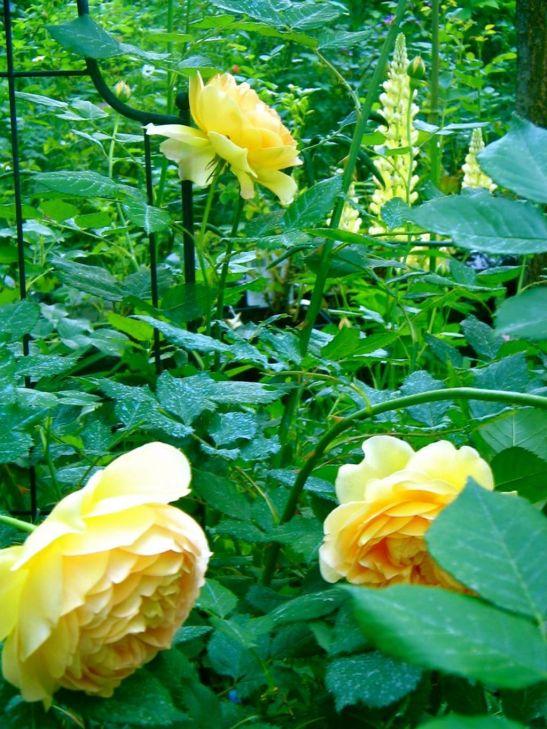 In gradina Roxanei trandafirul Golden Clebration rose in al treilea an