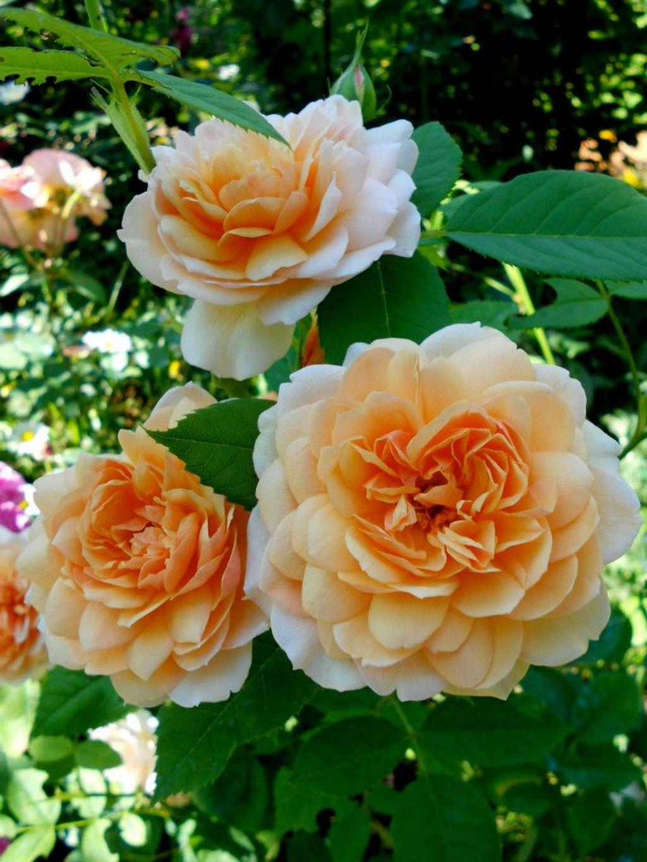 In gradina Roxanei trandafirul Grace