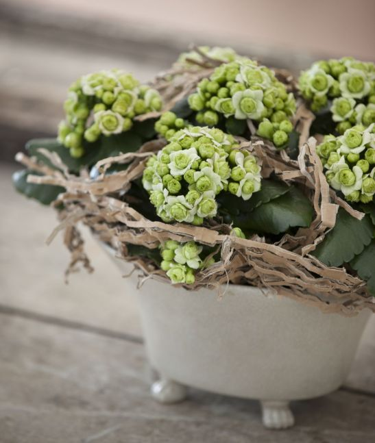 Kalanchoe bloss o varietate mai romantica de kalanchoe cu flori batute