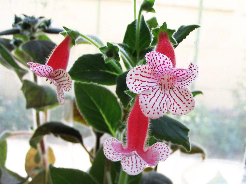 Kohleria Nasca de la Flori si Plante