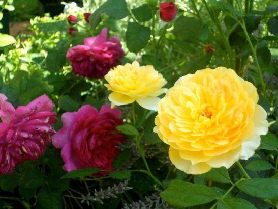 In gradina Roxanei trandafirii Molineux si Young Lycidas