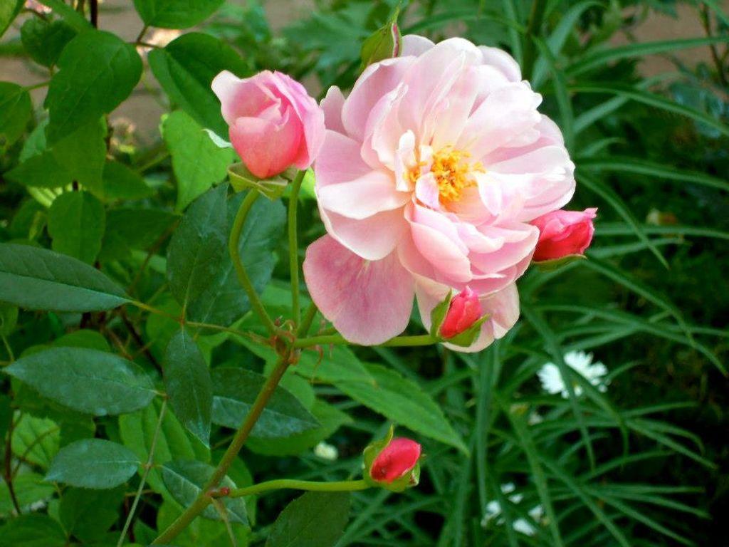 In gradina Roxanei trandafirul Mortimer Sackler