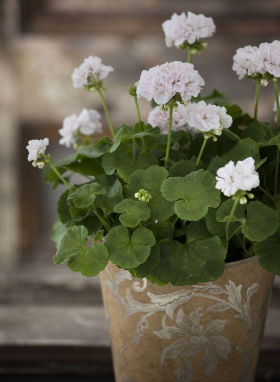 Pelargonium sau muscata alba in trendul verii 2013