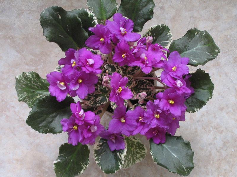 Saintpaulia Creole Royal de la Flori si Plante