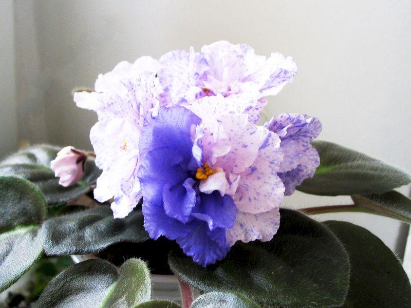 Saintpaulia RS-Morskaya Princessa de la Flori si Plante