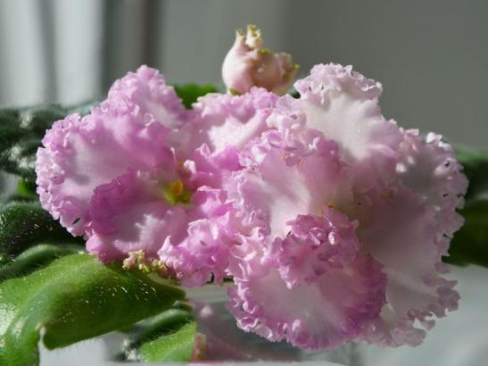 Saintpaulia Williwaw de la Flori si Plante
