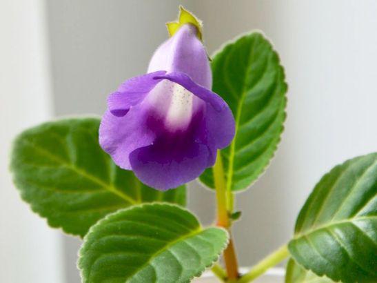 Sinningia Luci's Ametist Bell de la Flori si Plante
