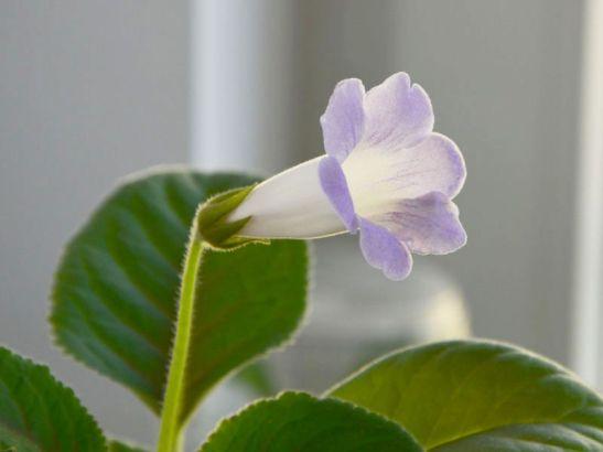 Sinningia Luci's My beauty 2 de la Flori si Plante