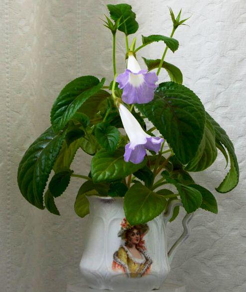 Sinningia Luci's My beauty de la Flori si Plante