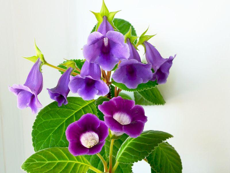 Sinningia si Gloxinia de la Flori si Plante