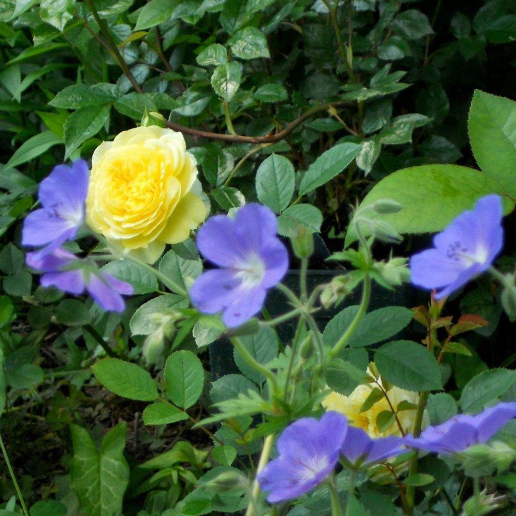In gradina Roxanei trandafirul The Pilgrim si florile Geranium Brookside