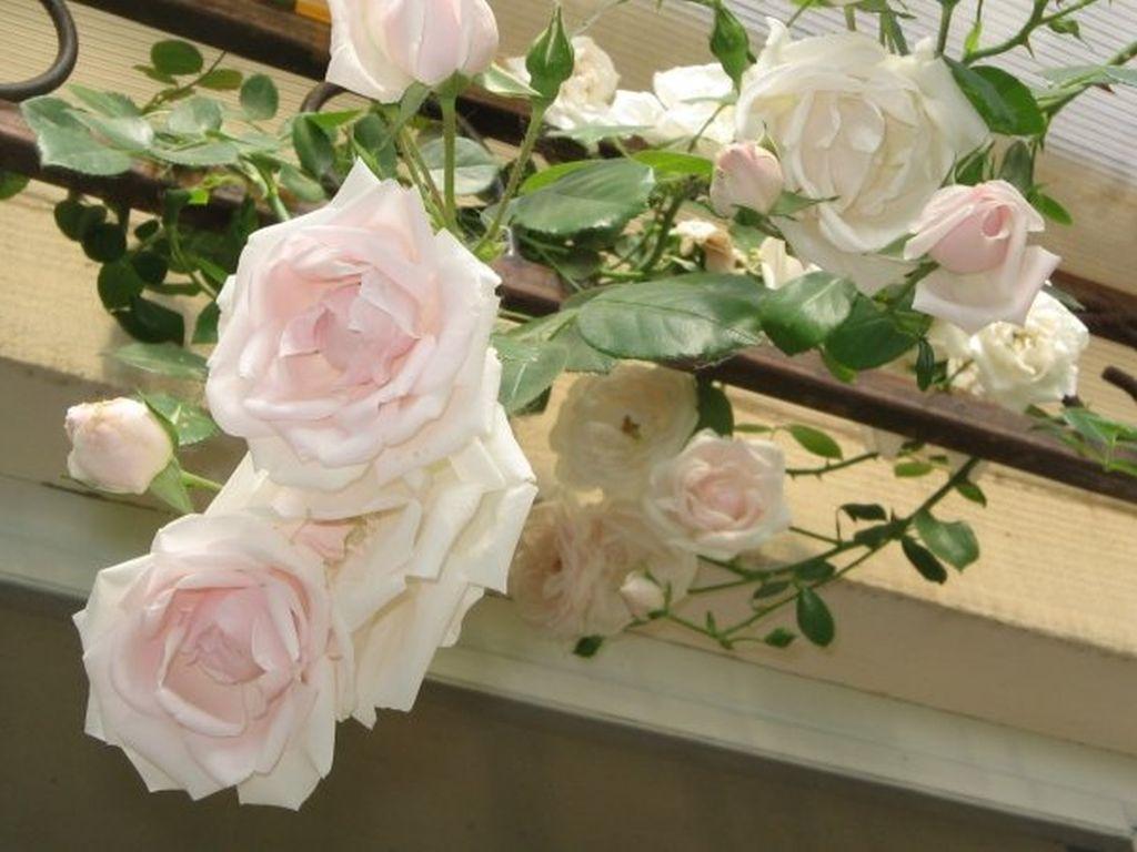 In gradina Roxanei trandafirul catarator New Dawn de la Gradina Bijoux