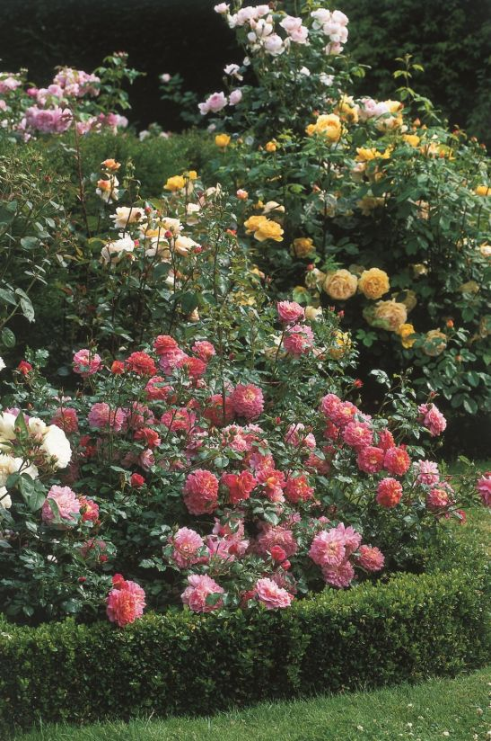Trandafirul Christopher Marlowe (Ausjump) de la David Austin prin Gradina Bijoux