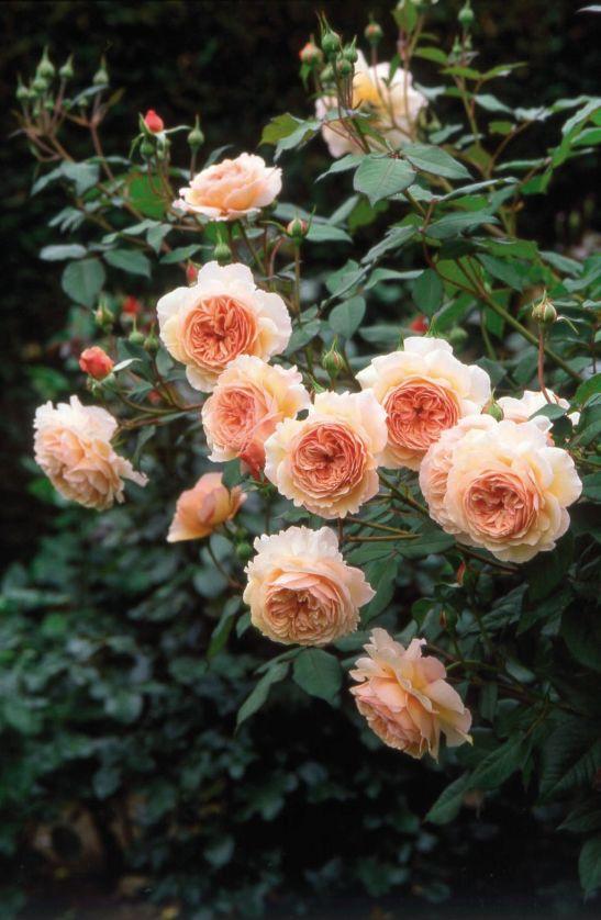 Trandafirul Shropshire Lad B (Ausled) de la David Austin prin Gradina Bijoux