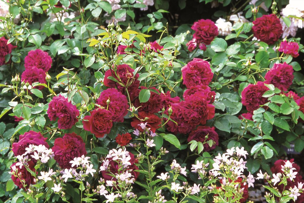 Trandafirul William Shakespeare 2000 (Ausromeo) de la David Austin prin Gradina Bijoux