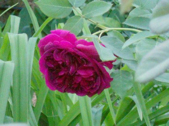 In gradina Roxanei trandafirul William Shakespeare 2000 de la Gradina Bijoux