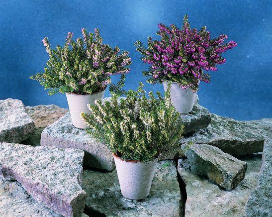 Hibrizi de Erica carnea la ghiveci. Foto Floradania