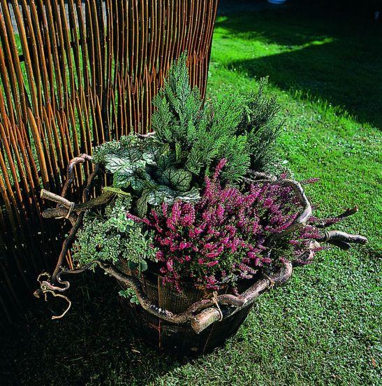 Erica carnea in aranjament la ghiveci. Foto Floradania