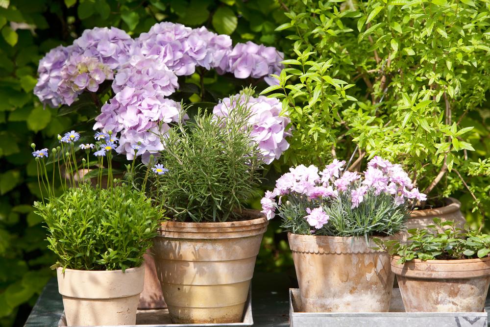adelaparvu.com sfaturi pentru inflorirea hortensiei Foto Floradania (1)