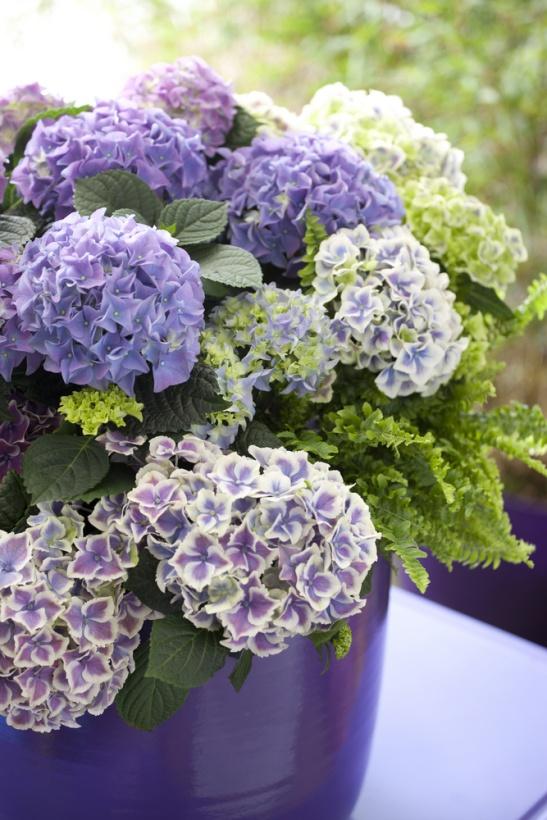 adelaparvu.com sfaturi pentru inflorirea hortensiei Foto Floradania (2)