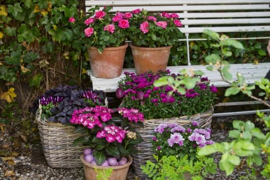 adelaparvu.com sfaturi pentru inflorirea hortensiei Foto Floradania (4)