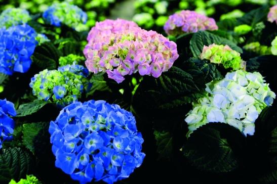 adelaparvu.com sfaturi pentru inflorirea hortensiei Foto Floradania (5)