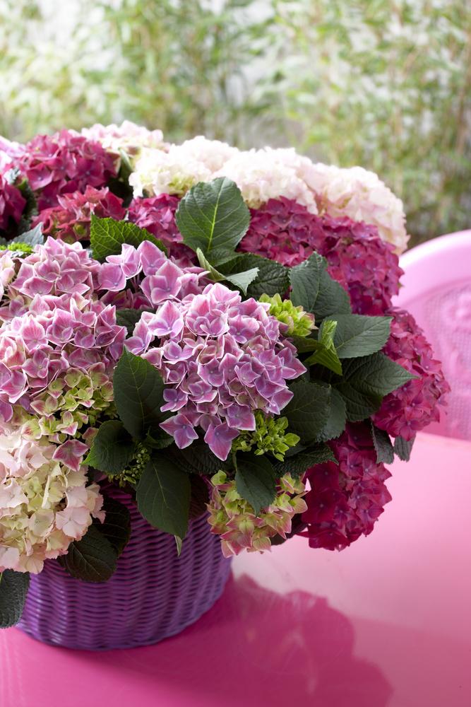 adelaparvu.com sfaturi pentru inflorirea hortensiei Foto Floradania (6)